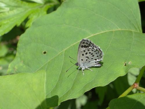 オオゴマシジミ  かなりハードルの高い蝶???_d0254540_8472852.jpg