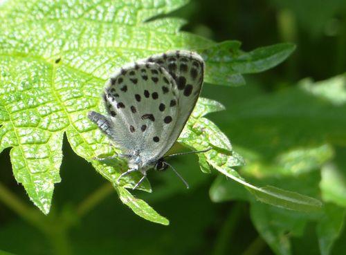 オオゴマシジミ  かなりハードルの高い蝶???_d0254540_8482878.jpg