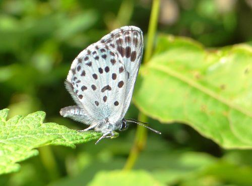 オオゴマシジミ  かなりハードルの高い蝶???_d0254540_8484350.jpg