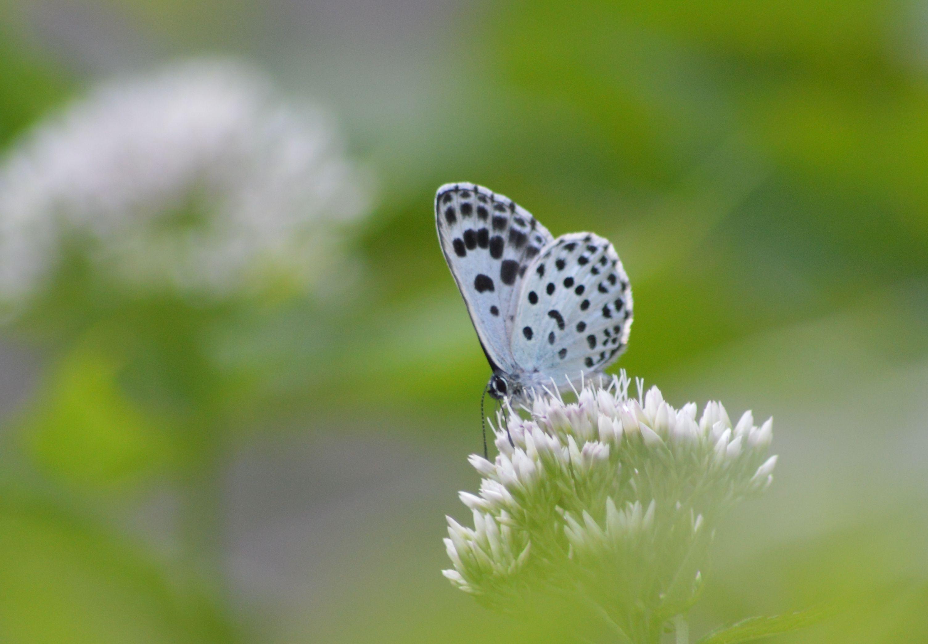 オオゴマシジミ  かなりハードルの高い蝶???_d0254540_8502777.jpg