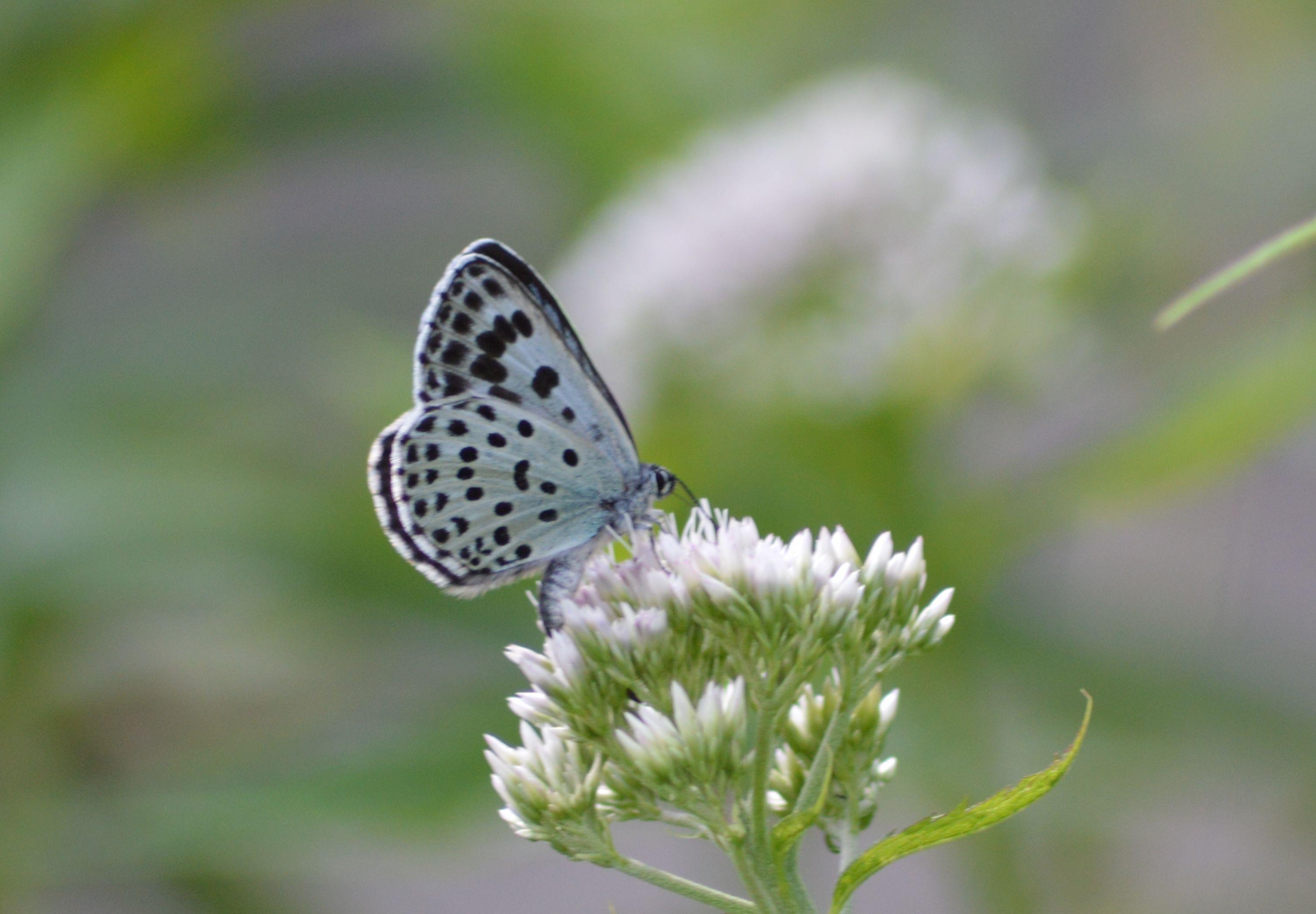 オオゴマシジミ  かなりハードルの高い蝶???_d0254540_8533245.jpg