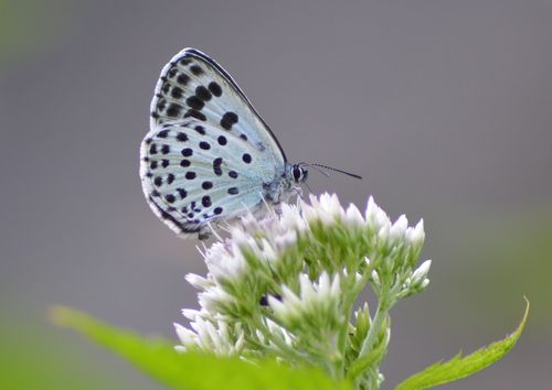 オオゴマシジミ  かなりハードルの高い蝶???_d0254540_8551957.jpg