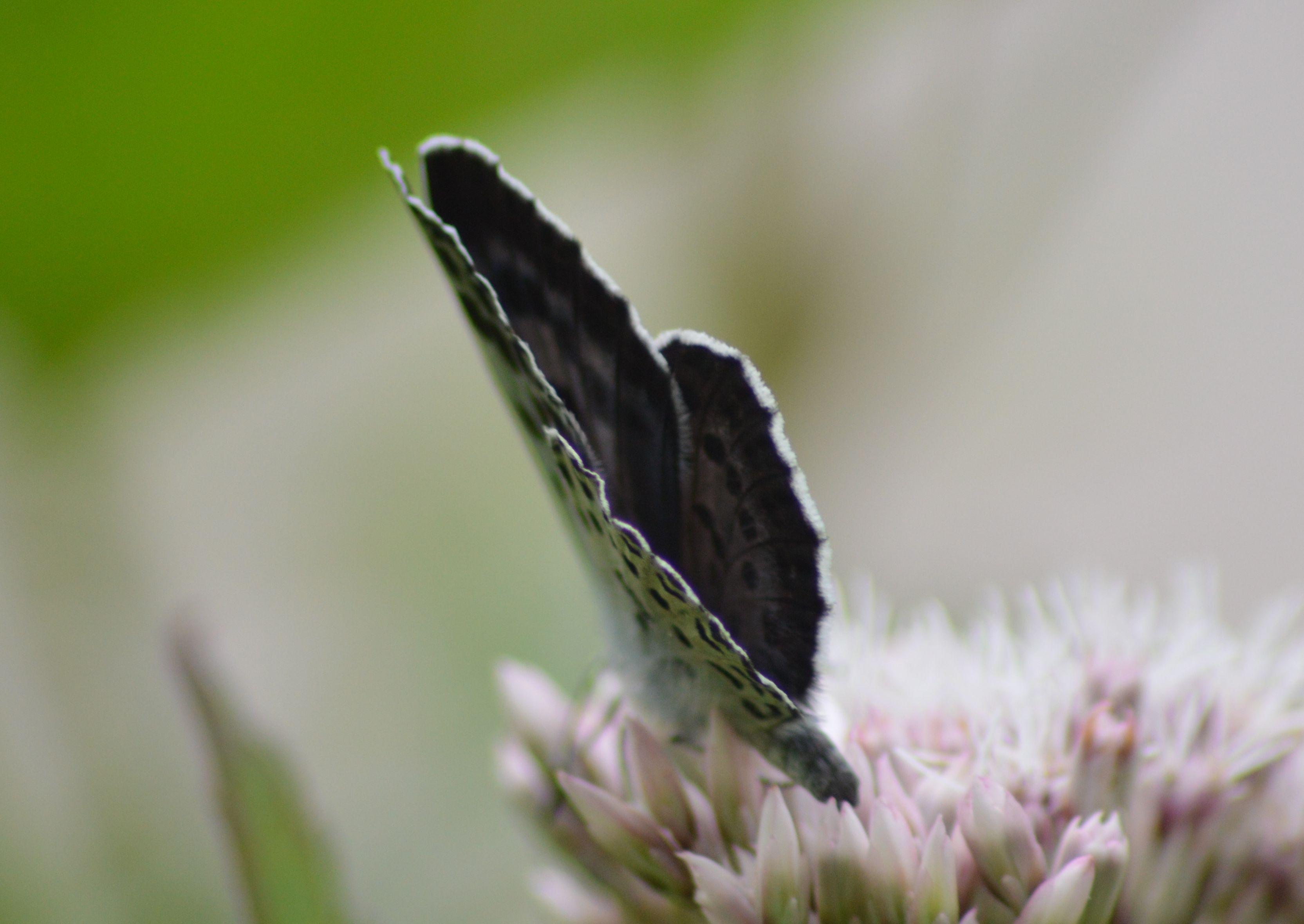 オオゴマシジミ  かなりハードルの高い蝶???_d0254540_8554558.jpg