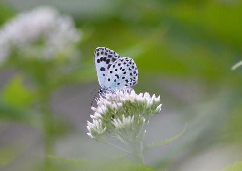 オオゴマシジミ  かなりハードルの高い蝶???_d0254540_855494.jpg