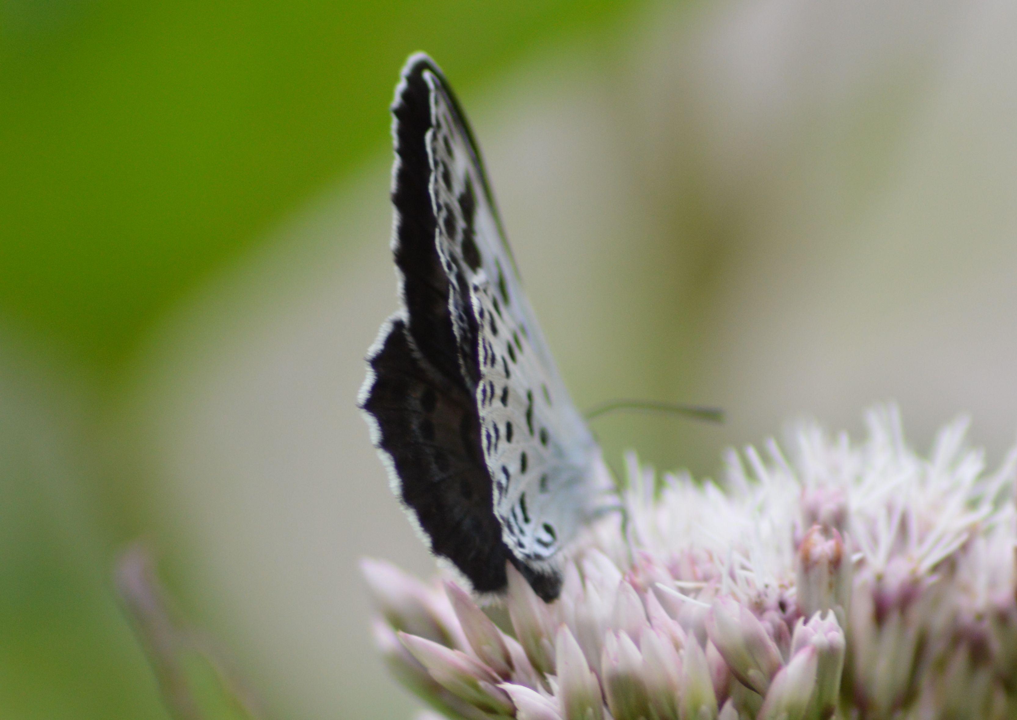 オオゴマシジミ  かなりハードルの高い蝶???_d0254540_8573232.jpg