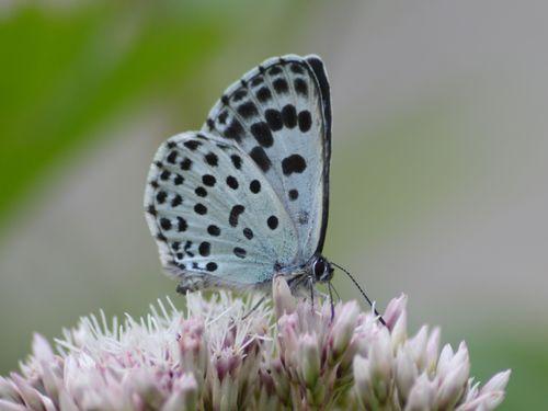オオゴマシジミ  かなりハードルの高い蝶???_d0254540_859268.jpg