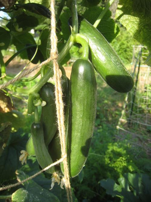 収穫物で色々と調理実習~_e0121558_2314170.jpg