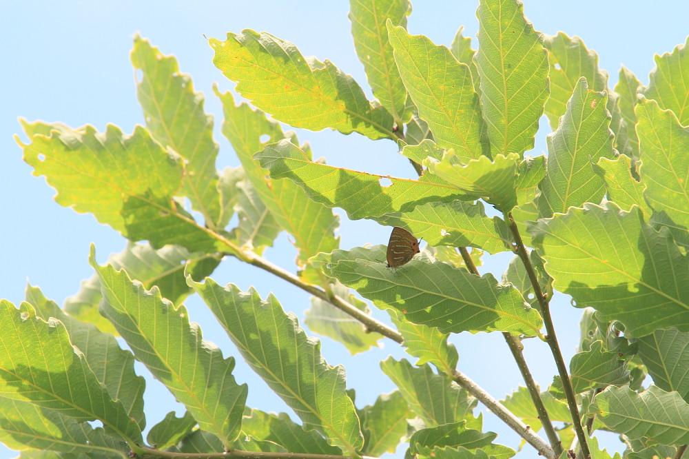 ジョウザンミドリシジミ  樹液が美味しい。  2013.7.16福島県 _a0146869_19465539.jpg