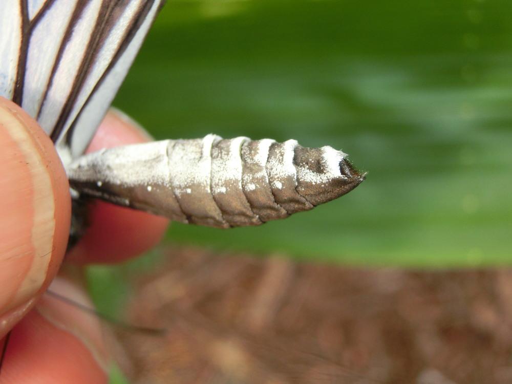 アサギマダラ  雌雄の腹端をチェック。  2013.7.16栃木県_a0146869_9114916.jpg