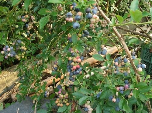 ラビットアイ系ブルーベリーの収穫期が前倒しになりそうです_f0018078_18595243.jpg