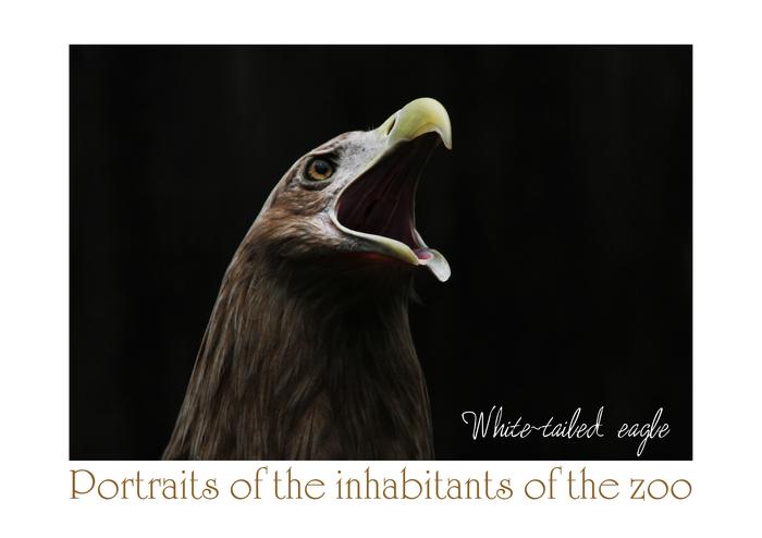 オジロワシ:White-tailed eagle_b0249597_515223.jpg
