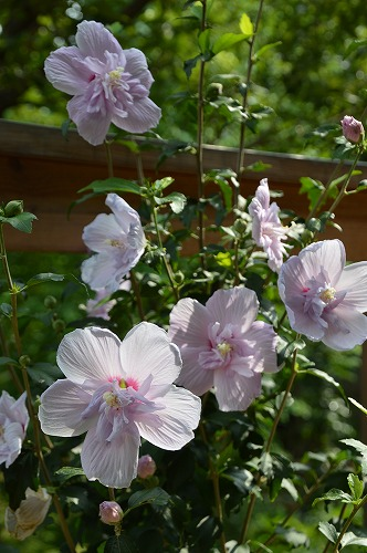 いただきものの 夏の花々_c0124100_13442324.jpg