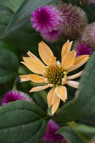 いただきものの 夏の花々_c0124100_1344445.jpg