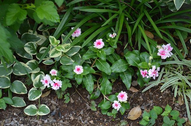いただきものの 夏の花々_c0124100_13451053.jpg