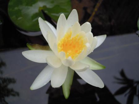 スイレン、花、ムカゴ苗、オモダカ、ウリカワの種、それからええと_e0097534_15102922.jpg