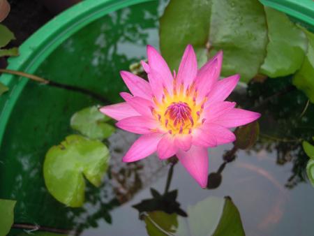 スイレン、花、ムカゴ苗、オモダカ、ウリカワの種、それからええと_e0097534_15105836.jpg