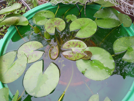 スイレン、花、ムカゴ苗、オモダカ、ウリカワの種、それからええと_e0097534_1512453.jpg