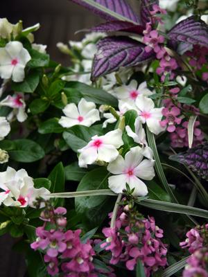 Rose bowlの夏の寄せ植え_d0229351_21375016.jpg