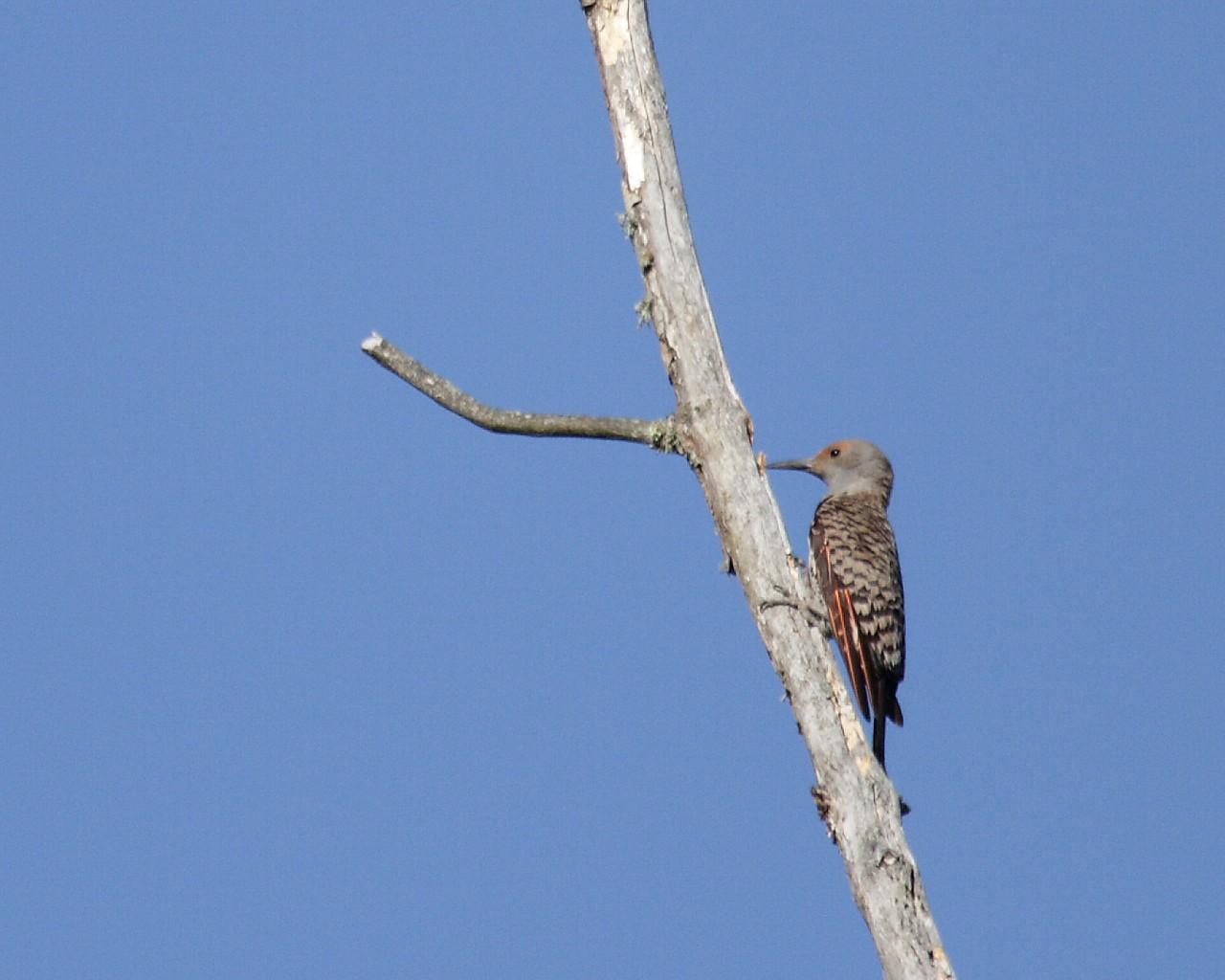 2013年7月オレゴンの野鳥その3: Northern Flicker_f0105570_21472261.jpg