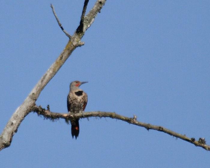 2013年7月オレゴンの野鳥その3: Northern Flicker_f0105570_2147447.jpg