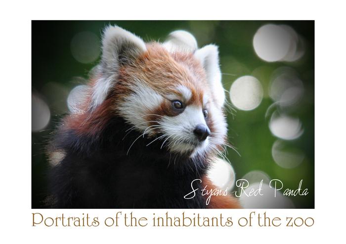 シセンレッサーパンダ:Styan\'s Red Panda_b0249597_5353366.jpg