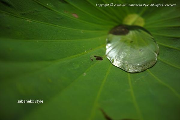 Lotus効果_b0029706_0581012.jpg
