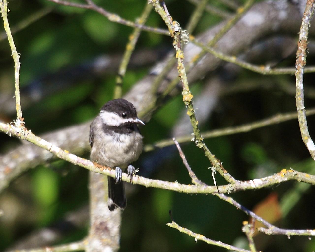 2013年7月オレゴンの野鳥その5: 日本のコガラにそっくり!_f0105570_2125374.jpg