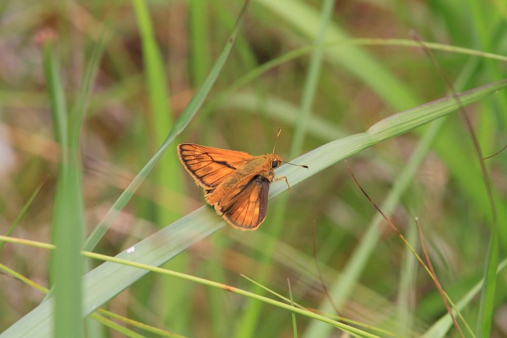 コキマダラセセリ  高原湿地で。 2013.7.20那須塩原市_a0146869_1955063.jpg