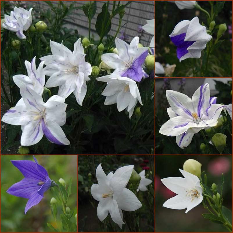 青と白色の混合桔梗_d0162994_8331351.jpg