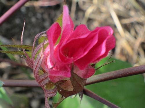 綿の花が咲いたよー!!_e0221708_92469.png