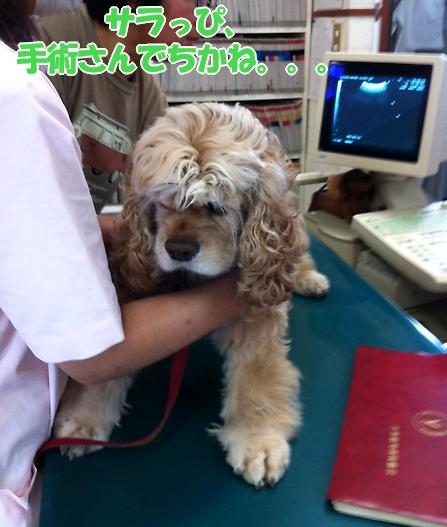 サラっぴ、ぷち受難でちから_b0067012_11422364.jpg