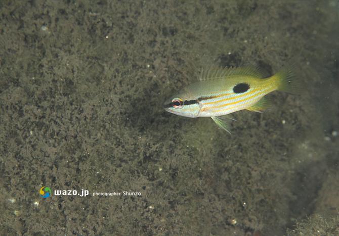 ニセクロホシフエダイの幼魚?_d0198511_2110825.jpg