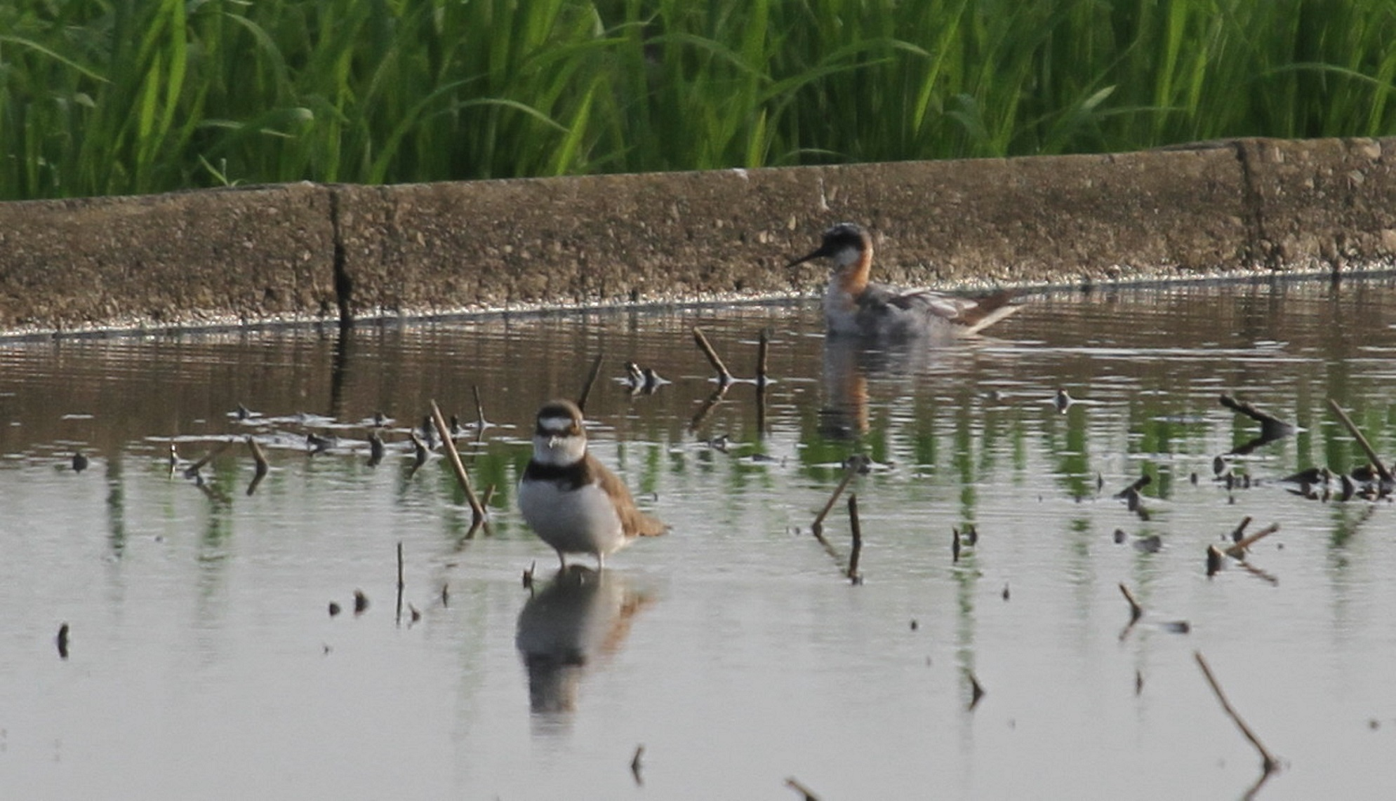 田園地帯で探鳥を‼(気になる鳥が、初見ですが----。)_f0239515_21403133.jpg