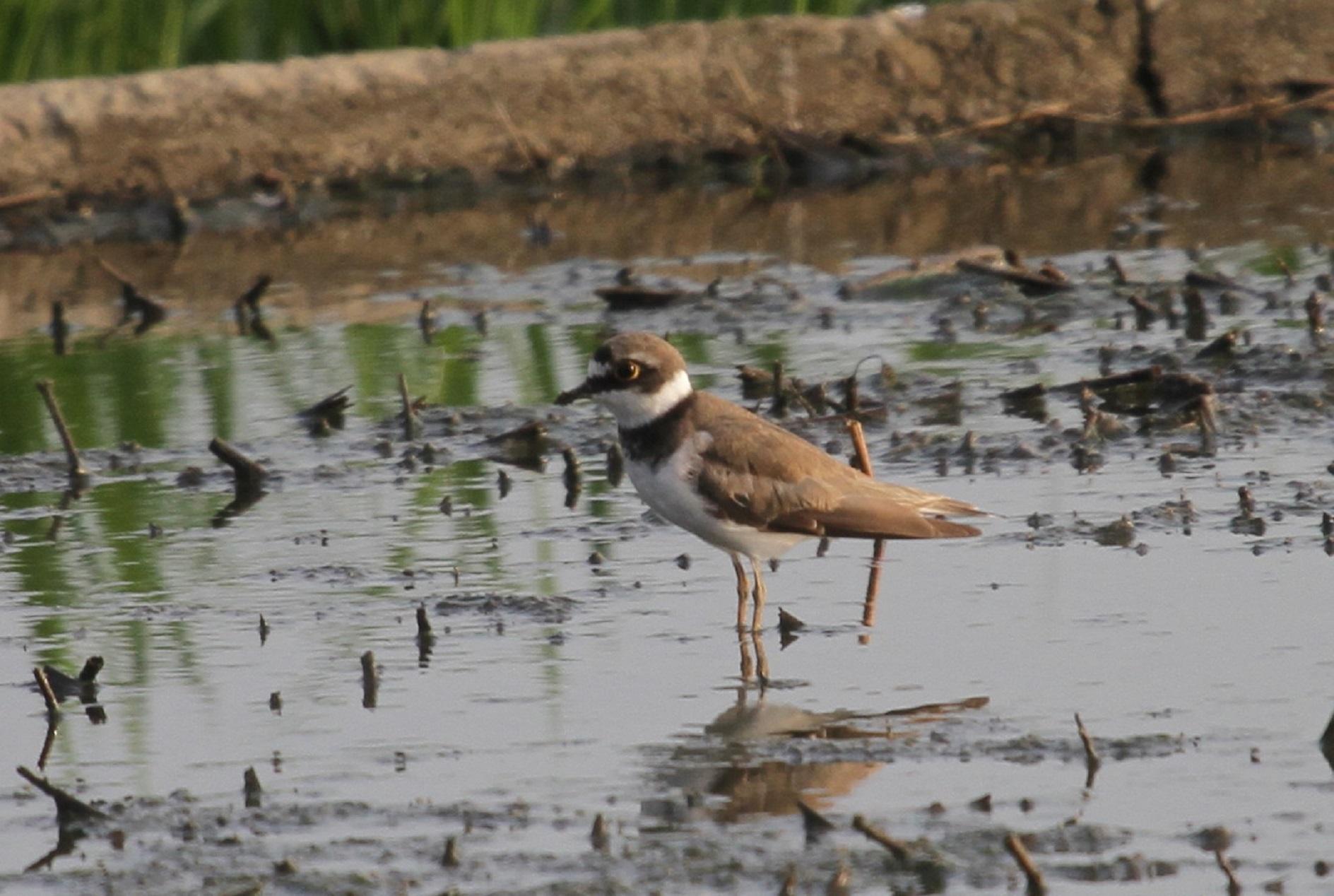 田園地帯で探鳥を‼(気になる鳥が、初見ですが----。)_f0239515_21521985.jpg