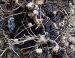 エダマメの収穫、三週目_f0108133_23451022.jpg