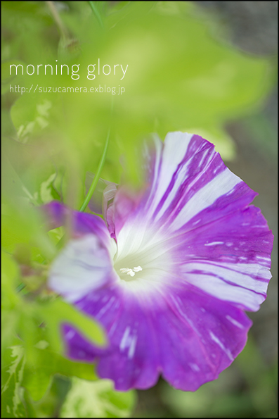 morning glory_f0100215_19495420.jpg
