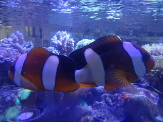 130807 海水魚・水草・淡水魚・金魚_f0189122_12355867.jpg