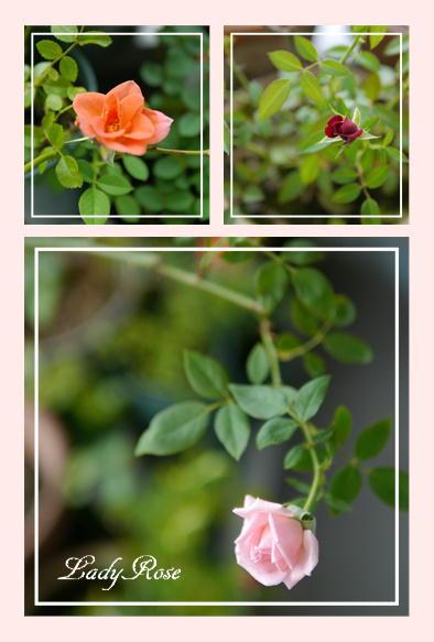 紫陽花&ミニバラ_f0292335_1621321.jpg
