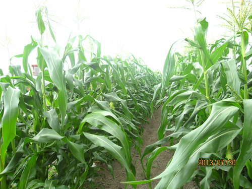 トウモロコシ畑_f0231042_2325555.jpg