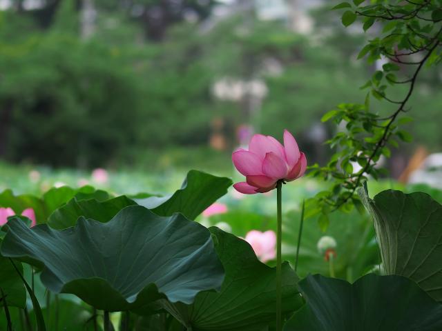 郷の風景 高田公園の蓮_f0024992_7343769.jpg