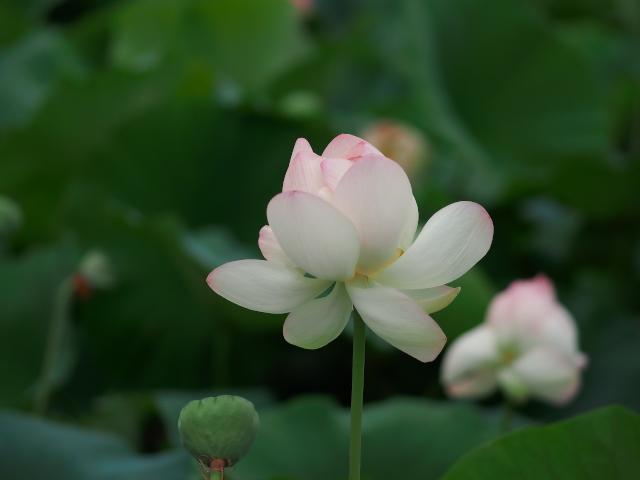 郷の風景 高田公園の蓮_f0024992_7345948.jpg
