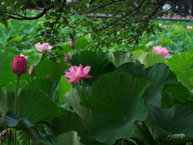 郷の風景 高田公園の蓮_f0024992_7354449.jpg