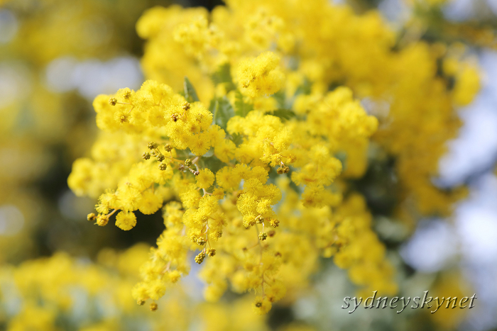 Golden Wattle_f0084337_10494626.jpg