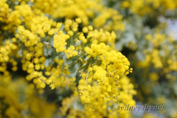 Golden Wattle_f0084337_10495198.jpg