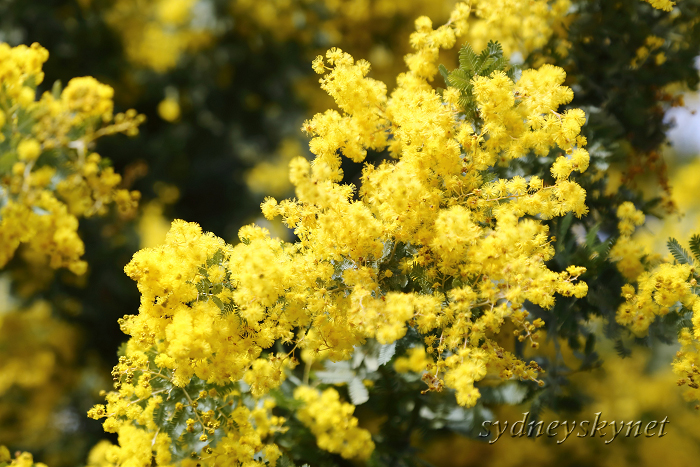 Golden Wattle_f0084337_10495897.jpg