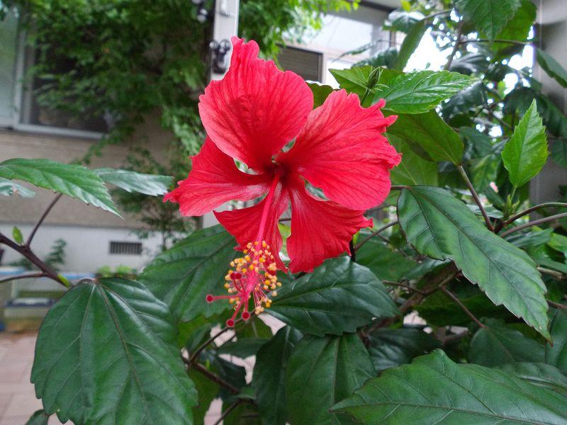 午前中は庭仕事、夕方は大通りビアガーデン_c0025115_23273618.jpg