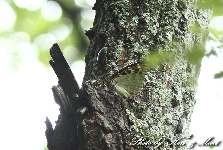 初見♪ 初撮り♪ 国蝶 「オオムラサキ」さん♪_e0218518_2211205.jpg