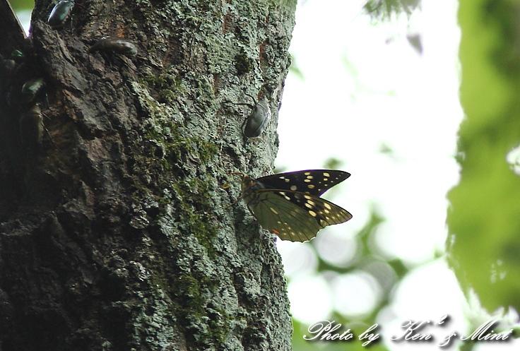 初見♪ 初撮り♪ 国蝶 「オオムラサキ」さん♪_e0218518_2211349.jpg