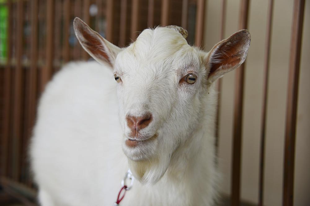 2013.5.26 那須サファリパーク☆ヤギのミライ【Goat】_f0250322_20335484.jpg