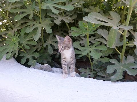 世界の猫 写真館 ギリシャ サントリーニ島_e0237625_210665.jpg
